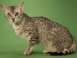 Egyptian Mau Photographic Print