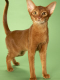 Abyssinian Posters