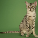 Egyptian Mau Photo