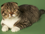 Scottish Fold Fotografie-Druck