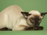 Siamese Photographic Print
