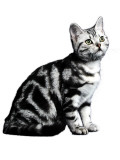 American  Shorthair Photographic Print
