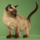 Tonkinese Posters