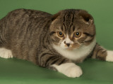 Scottish Fold Photographic Print