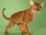 Abyssinian Photo