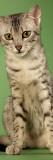 Egyptian Mau Photo