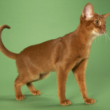 Abyssinian Photographic Print