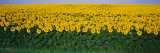 Sunflower Field, Maryland, USA Wall Decal by Panoramic Images