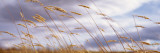 Wheat Stalks Blowing, Crops, Field, Open Space Wall Decal by  Panoramic Images