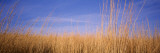 Prairie Grass, Blue Sky, Marion County, Illinois, USA Wallsticker af Panoramic Images,