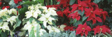 Close-Us of Red and White Poinsettias Wall Decal by  Panoramic Images