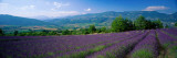 Flowers in Field, Lavender Field, La Drome Provence, France Wall Decal by  Panoramic Images