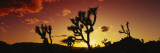 Silhouette of Joshua Trees at Sunset, Joshua Tree National Monument, California, USA Wall Decal by  Panoramic Images