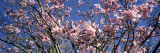 Magnolias, Golden Gate Park, San Francisco, California, USA Wallstickers af Panoramic Images