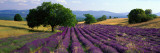 Flowers in Field, Lavender Field, La Drome Provence, France Muursticker van Panoramic Images