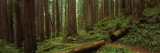 Lush Forest with Path, Jedediah Smith State Park, California, USA Wall Decal by  Panoramic Images