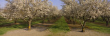 Trees in a Row, Almond Tree, Sacramento, California, USA Vinilos decorativos por Panoramic Images