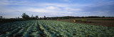 Tobacco Harvest, Edgerton, Wisconsin, USA Wall Decal by  Panoramic Images