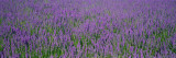 Field of Lavender, Hokkaido, Japan Wall Decal by Panoramic Images 