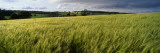 Barley Field, Wales, United Kingdom Wall Decal by  Panoramic Images