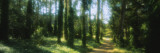 Trees in a Forest, Eucalyptus Tree, San Francisco, California, USA Wall Decal by  Panoramic Images
