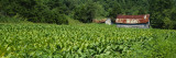 Barn in a Tobacco Field, Kentucky, USA Wall Decal by Panoramic Images 