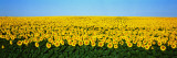 Sunflower Field, North Dakota, USA Wall Decal by  Panoramic Images