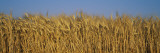 Field of Wheat, France Wall Decal by  Panoramic Images