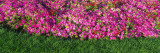 Pink Petunias, Michigan, USA Wall Decal by  Panoramic Images