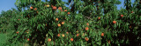 Low Angle View of Peaches Growing on a Peach Tree, Michigan, USA Wall Decal by Panoramic Images