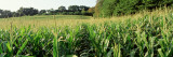 Cornfield, Baltimore County, Maryland, USA Wall Decal by Panoramic Images