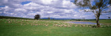 Sheep Grazing, New South Wales, United Kingdom, Australia Wall Decal by  Panoramic Images