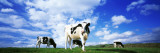 Cows in Field, Lake District, England, United Kingdom Vinilos decorativos por Panoramic Images