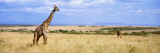 Giraffe, Maasai Mara, Kenya Wall Decal by  Panoramic Images