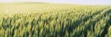 Field of Barley, Whitman County, Washington State, USA Wall Decal by  Panoramic Images