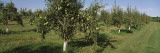 View of an Orchard of Pear Trees, Michigan, USA Wall Decal by Panoramic Images