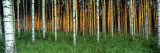 Birch Trees, Saimma, Lakelands, Finland Wall Decal by  Panoramic Images