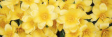 Close-up of Yellow Tulips Wall Decal by  Panoramic Images