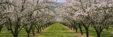 Almond Trees in an Orchard, California, USA Wall Decal by  Panoramic Images