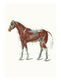 External Muscles and Tendons of the Horse Wall Decal by Samuel Sidney