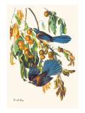 Scrub Jay Wallsticker af John James Audubon