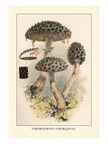Strobilomyces Strobilaleus Wall Decal by William Hamilton Gibson