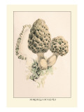 Morchella Esculenta Wall Decal by William Hamilton Gibson