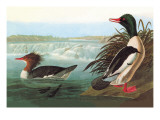 Common Merganser Wall Decal by John James Audubon