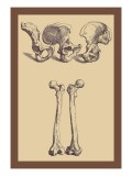 Pelvic Bones Wall Decal by Andreas Vesalius