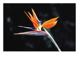 Bird of Paradise Wall Decal by John Bortniak