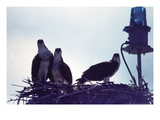 Osprey Wall Decal by Mary Hollinger