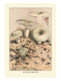 Russula Virescens Wall Decal by William Hamilton Gibson