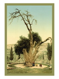 Abraham's Tree Mamreh on the West Bank Vinilo decorativo