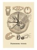 Jellyfish: Drymonema Victoria Wall Decal by Ernst Haeckel